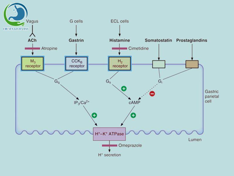 Một số yếu tố ảnh hưởng đến bài tiết acid ở dạ dày