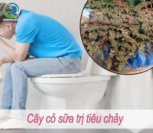 Cây cỏ sữa trị tiêu chảy